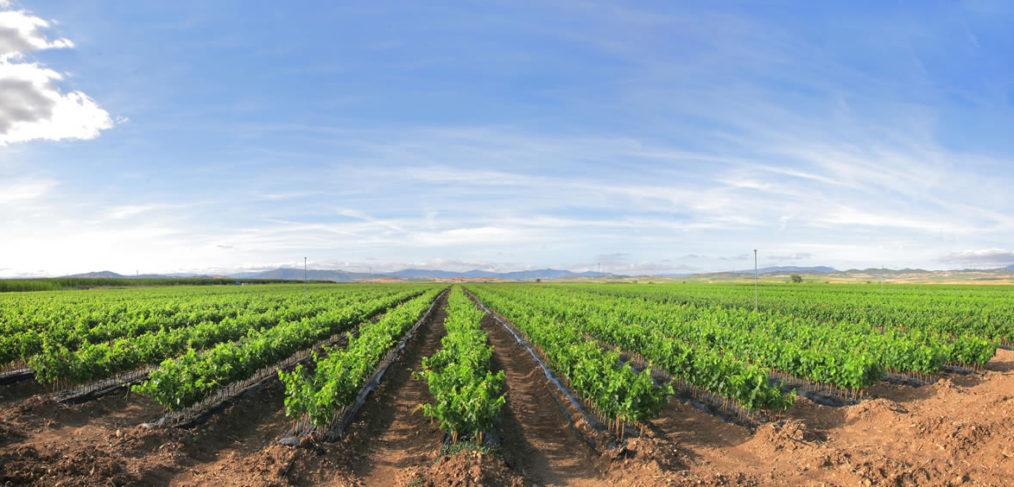 plantación uvas mediana