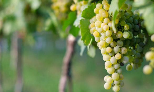 uvas mesa blancas