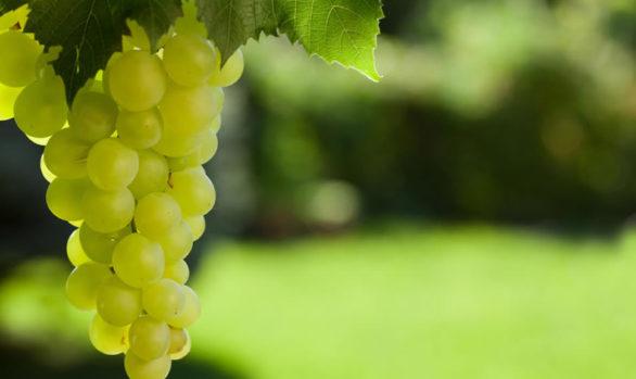 uvas vinificación blancas