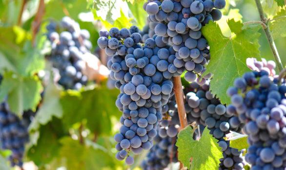 uvas vinificación tintas